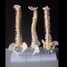 45 CM ludzki kręgosłup z miednicy Model anatomia człowieka anatomia kręgosłupa Model medyczny kręgosłupa model + stojak elastycz