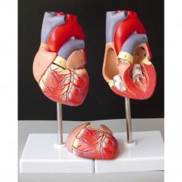 Ludzkie serce anatomiczny anatomii Model nauczania wnętrzności medyczny Organ Model Emulational + stojak nauczania nauk medyczny