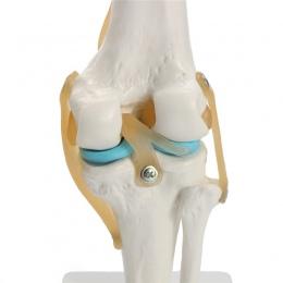Szkielet anatomii człowieka życie Si ze stawu kolanowego anatomicznych tryb l serce czaszka czaszki mózg mod el w urazie pielęgn